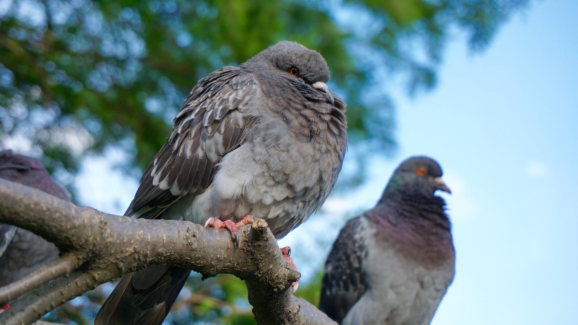Tauben erkennen Brustkrebs fast so gut wie der Mensch