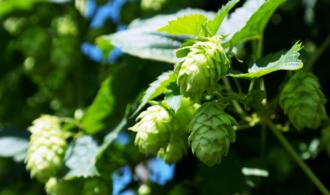 Wirkt Hopfen aus dem Bier gegen Krebs? (c) Romi/Pixabay